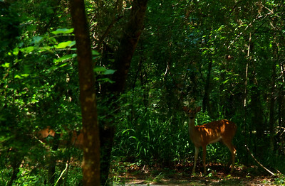 White-tailed deer in Brazos Bend State Park