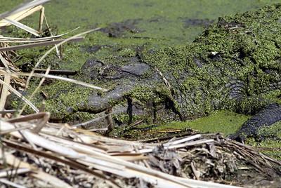 American Alligator in Brazos Bend State Park