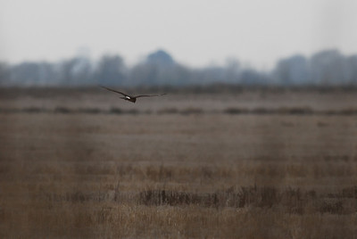 Northern Harrier looking for Prey