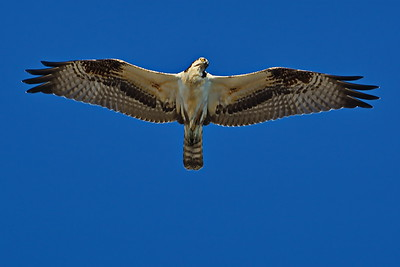 Osprey_FlyingP_D71_6791