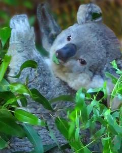 Leafy Koala Lunch