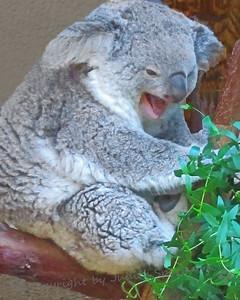 The Laughing Koala