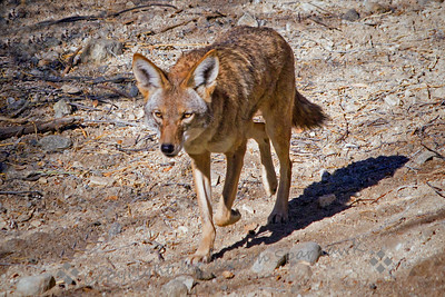 Coyote Walking