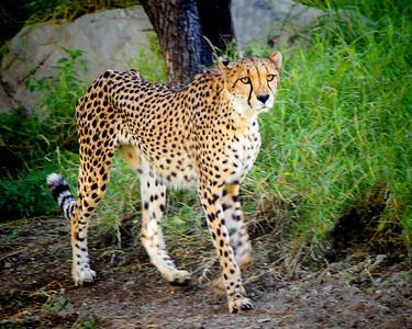 Cheetah Solo
