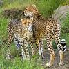 Cheetahs Too