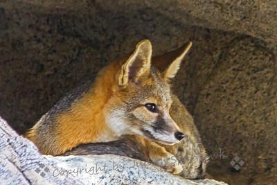 Kit Fox in the Den
