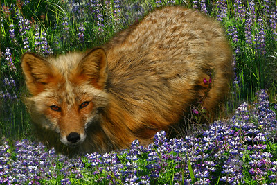 Red Fox in the Lupine ~ This fox was photographed on San Juan Island, in the Puget Sound, WA.  I loved his deep amber eyes.  After he studied me awhile, he hopped up on a split rail fence and walked off on top of the fence.