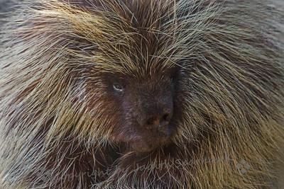 Porcupine Portrait