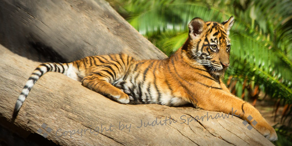Tiger Cub Sunning