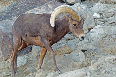 Big Horned Sheep Walking ~ This male Big Horned Sheep was photographed at the Living Desert in Palm Desert, California.
