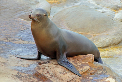 La Jolla Seals ~