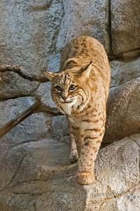 Bobcat Coming In