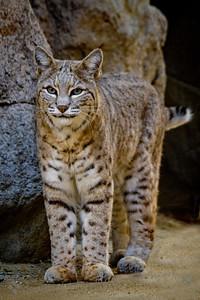 Smiling Bobcat