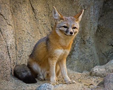 Desert Kit Fox Grinning