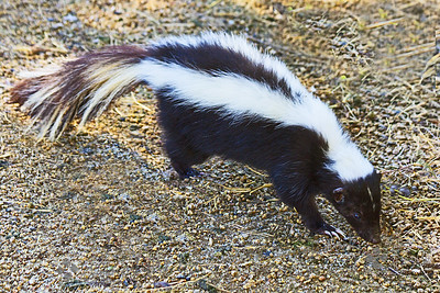 Western Striped Skunk