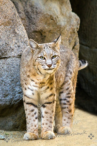 Bobcat Looking