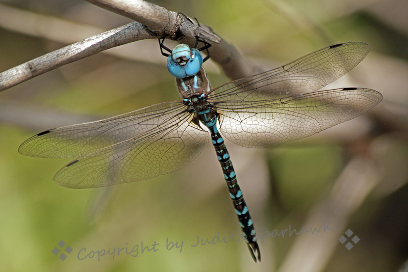 Blue-eyed Darner ~ While birding at San Jacinto Wildlife Area, I saw many types of dragonflies.  This Blue-eyed Darner was one of them.