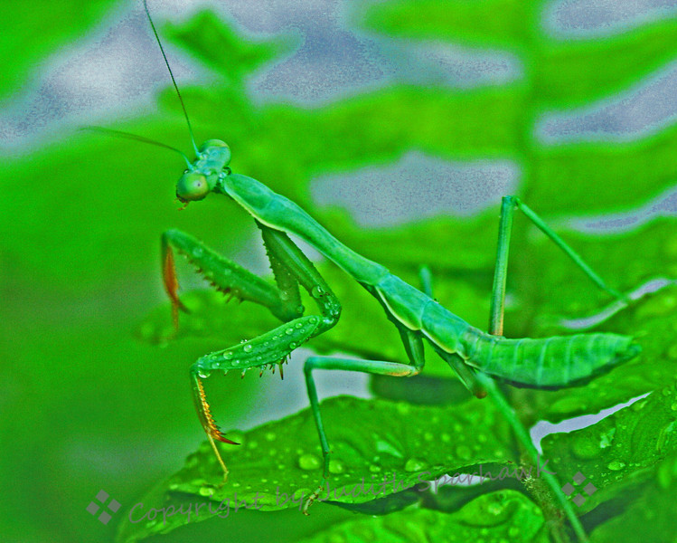Garden Visitor ~ I had always seen photos of Praying Mantises before, but had never seen one in real life.  I was watering my Boston Fern on my patio, and there it was.  He was a welcome visitor.