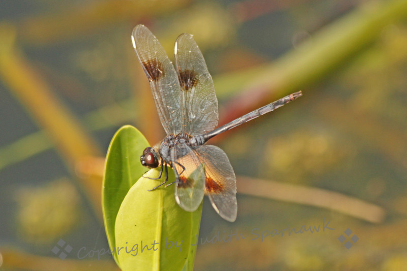 Four Spotted Penant ~ I'm not familiar with Florida dragonflies, but after combing through Paulson, I believe it is a male Four Spotted Penant.  It was flitting along the edge of a lake in the Everglades.