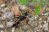 Horse Lubber ~ I was amazed to see the first of these large grasshoppers.  This is, I believe, an immature one.  Although it is large, the wings are small and not yet well-developed, so it was just crawling rather than hopping.  The colors were beautiful, with its black and yellow and red.