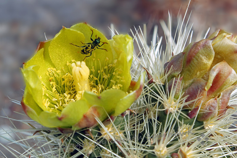 Cholla Cactus Bloom with Ornate Checkered Beetle ~ I went to Borrego Springs this weekend to shoot wildflowers.  A few cactus were in bloom, and I found this Ornate Checkered Beetle in the flowers.