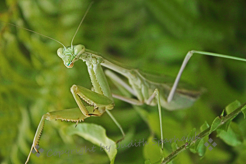 Praying Mantis Portrait ~ A face only Momma Mantis could love....
