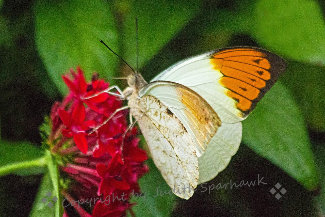Orange Tip ~ Butterfly at the San Diego Safari Park.