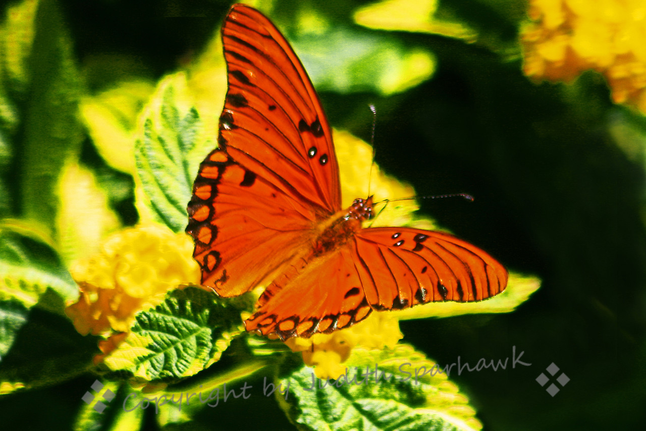 Gulf Fritillary Butterfly ~ This butterfly was seen at Huntington Library Gardens in the Pasadena, CA area.