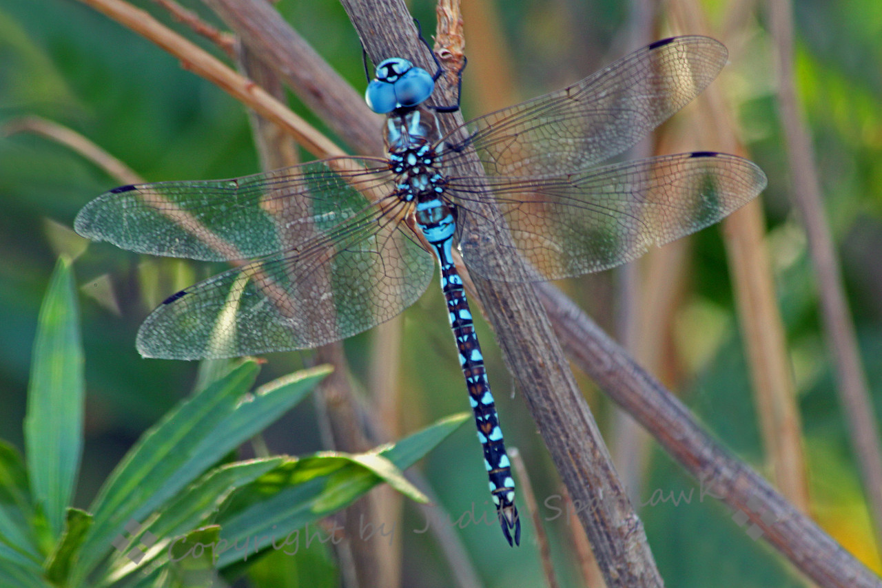 Blue-eyed Darner ~ Male Blue-eyed Darner, photographed at San Jacinto Wildlife Area in southern California.