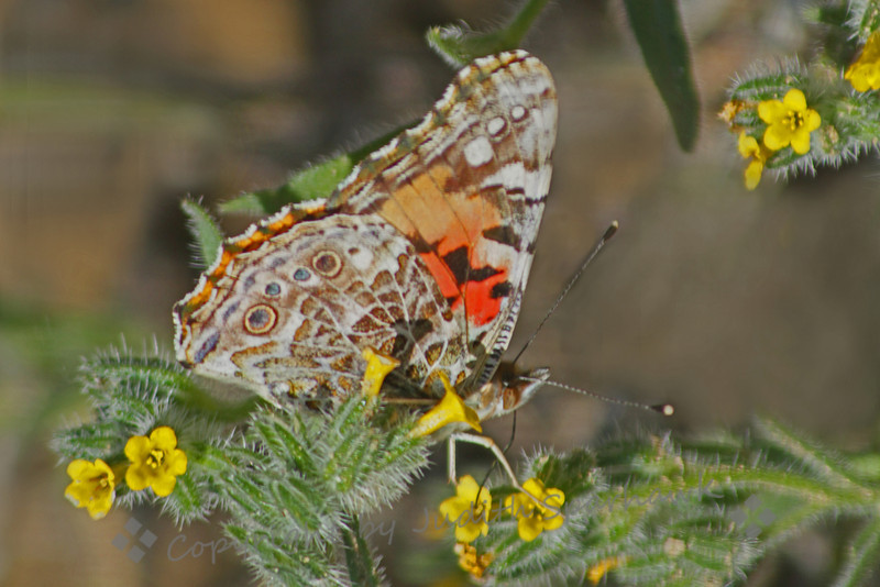Painted Lady ~ The Painted Lady butterflies are migrating through right now.  I photographed this one on a hike through San Timoteo Canyon, near Redlands, California.