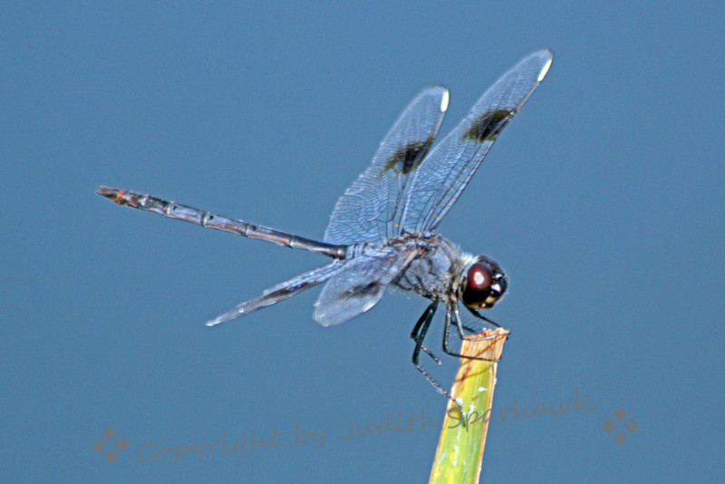 Four Spotted Penant ~ Another dragonfly view on the side of a lake in the Everglades.
