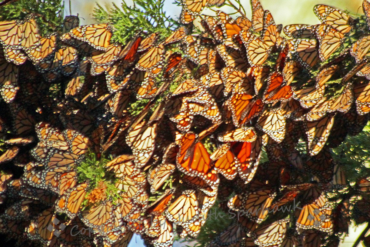 Monarchs Alight ~ When the wintering Monarchs clump together in the trees, and are in shade, their wings remain closed.  When even a ray of sunshine hits them, their wings begin to open, showing the bright upper wings.  With enough sun, they begin to flutter and fly around the grove.