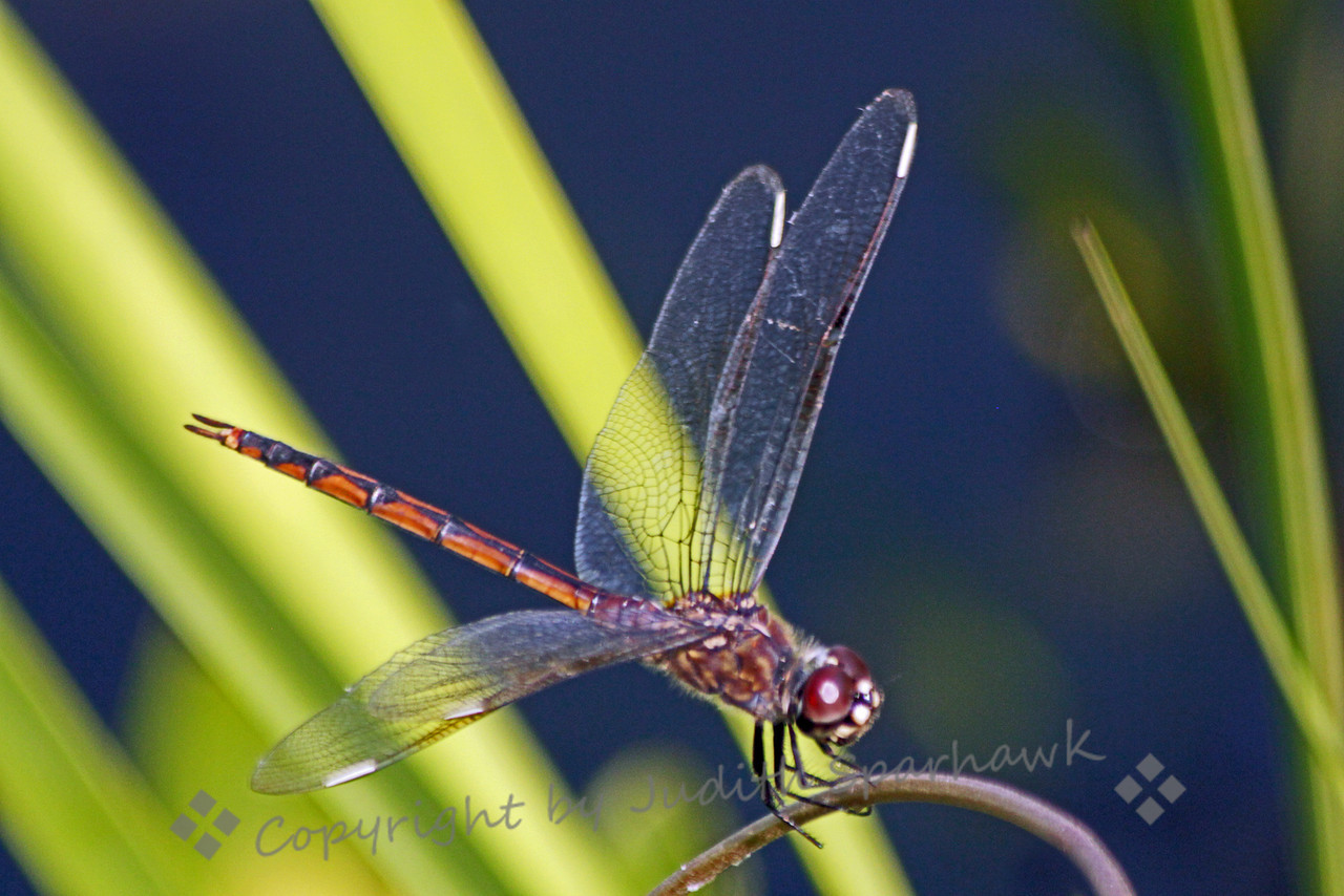 Female Four-spotted Penant ~ After working in Paulson, I believe this is a female Four-spotted Penant. This pretty dragonfly was flitting and lighting at the edge of a lake in the Everglades.