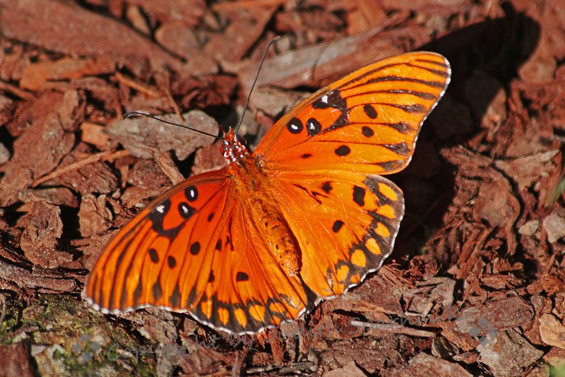Gulf Fritillary Butterfly at Rest ~