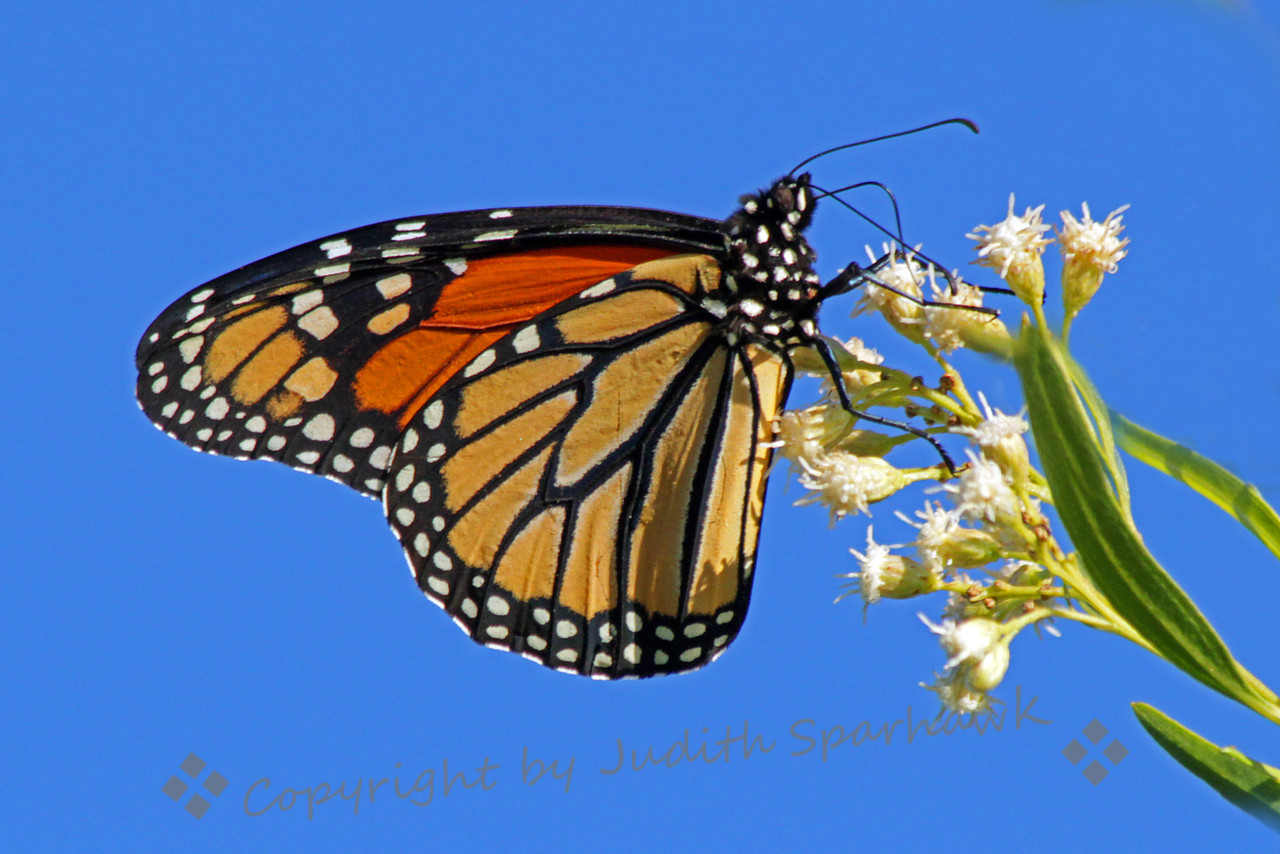 Monarch Butterfly ~ There were several Monarchs flying in the Bird & Butterfly Garden in the Tijuana River Valley on Saturday.