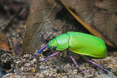 Leaf Chafer Beetle