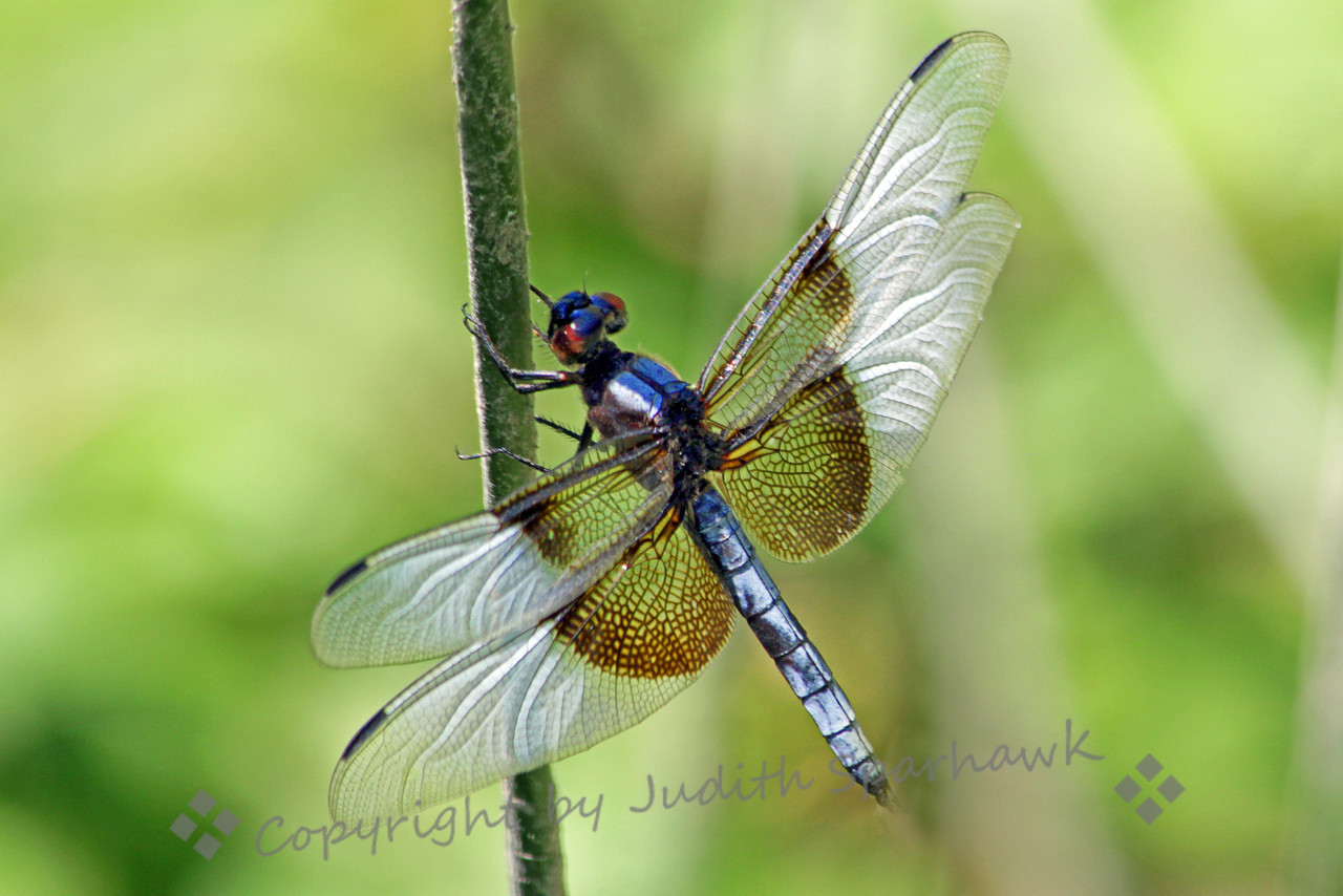 Widow Skimmer ~ This male dragonfly was photographed in August at Lost Lake, out of Fresno, California.  I liked the way the texture of his wings showed in this angle and lighting.