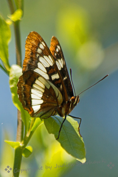 Lorquin's Admiral ~ This butterfly was photographed in the Bird and Butterfly Garden in the Tijuana River Valley near San Diego, CA