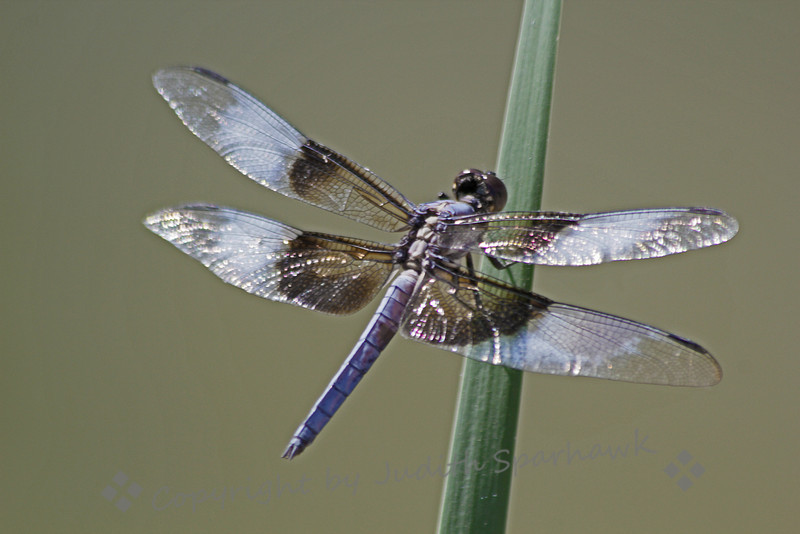 Widow Skimmer Perching ~ This skimmer did a lot more flitting than sitting, so I was happy to get this shot.  This was taken at a wetlands area near Salton Sea.