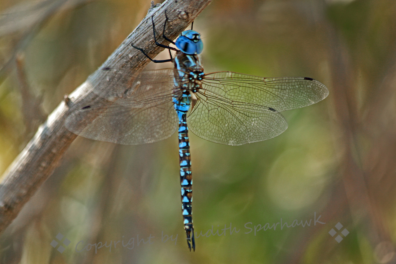 Blue-eyed Darner ~ This male Blue-eyed Darner was photographed at San Jacinto Wildlife Area in southern California.  This species lit on twigs and branched, alwaysvertically, straight up and down, rather than perching on the tops of grasses or twigs.