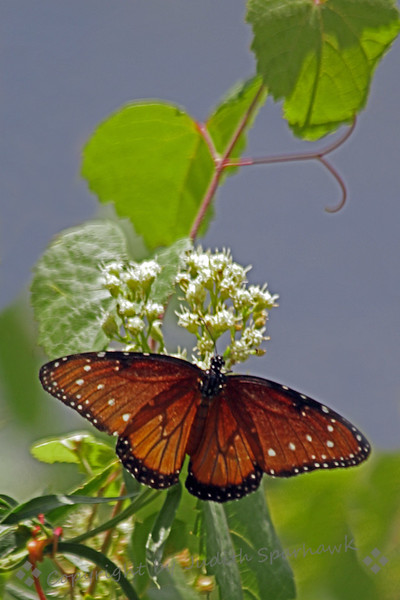 Queen Butterfly ~ This female Queen was photographed at the edge of Pena Blanca Lake in Southeast Arizona.
