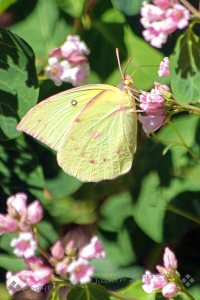 Female California Dogface ~ There were several different species of butterflies in the mountains today.  This one is a California Dogface, the state butterfly.  This is a female, with paler colors, quite lovely with its green-yellow with pink markings.