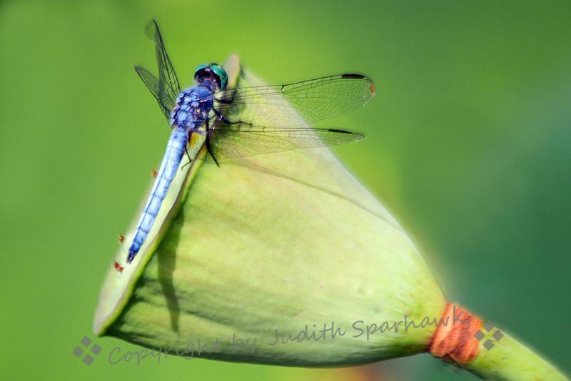 Blue Dasher on Lotus Seed Pod