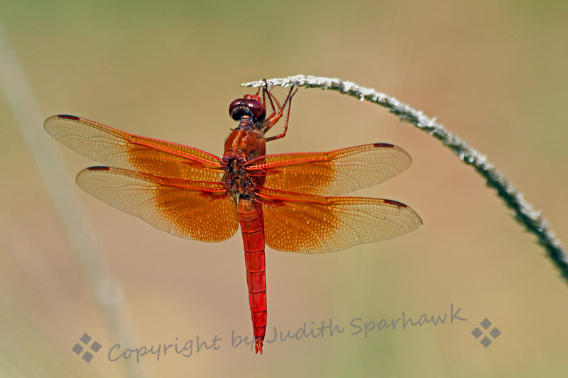Just Hangin' Out ~ This beautiful dragonfly, which I believe to be a Neon Skimmer, was photographed in Cave Creek Canyon, in Southeast Arizona.