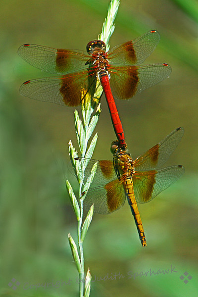 Mr. and Mrs. Western Meadowhawk ~ These dragonflies were new to me, and I loved their colors, not realizing they were male and female of the same species, until they began mating before my very eyes.  They were very beautiful.