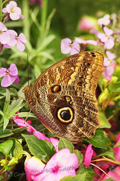 Owl Butterfly ~ Visited the San Diego Safari Park's annual butterfly exhibit on Saturday.  This was one of the images I captured there.