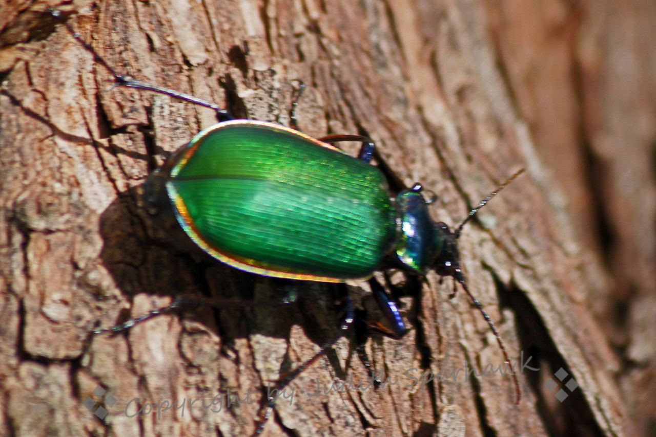 Caterpillar Hunter Beetle ~ I loved the striking metalic colors of this beetle in Arizona.