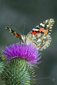 Painted Lady Looking Over