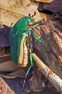 The.....Fig Beetle