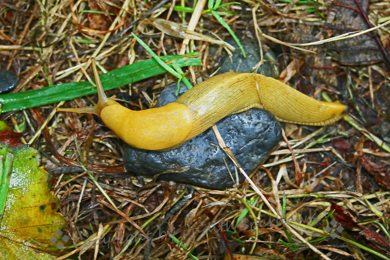 Banana Slug on the Trail ~ Not everyone appreciates the Banana Slugs, but I like the color, the texture--OK, maybe they are kinda ooey-gooey, but they do add color and life to the redwood forests.  This one was on the trail at Prairie Creek State Park, near Fern Canyon and Gold Bluffs Beach.